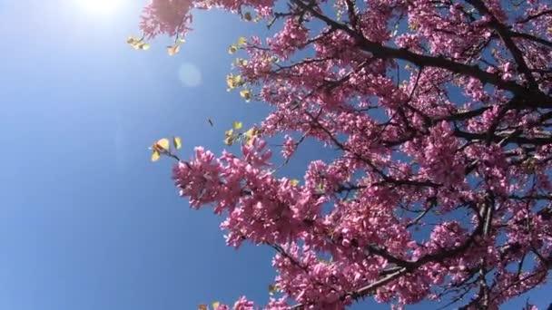 Cherry Blossom Sakura (Prunus Cesacoides, Wild himalájai Cherry) a kék ég háttér tavasszal
