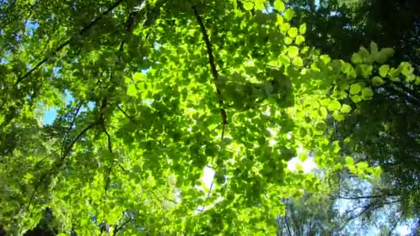 Looking up in forest. Sunbeams shining through lush green fresh leaves on branches in tree. Warm spring sun shining through foliage