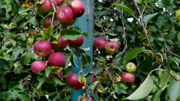 Gyönyörű piros Alma almaültetvényben. Érett gyümölcsök nőnek a fán. Betakarítás