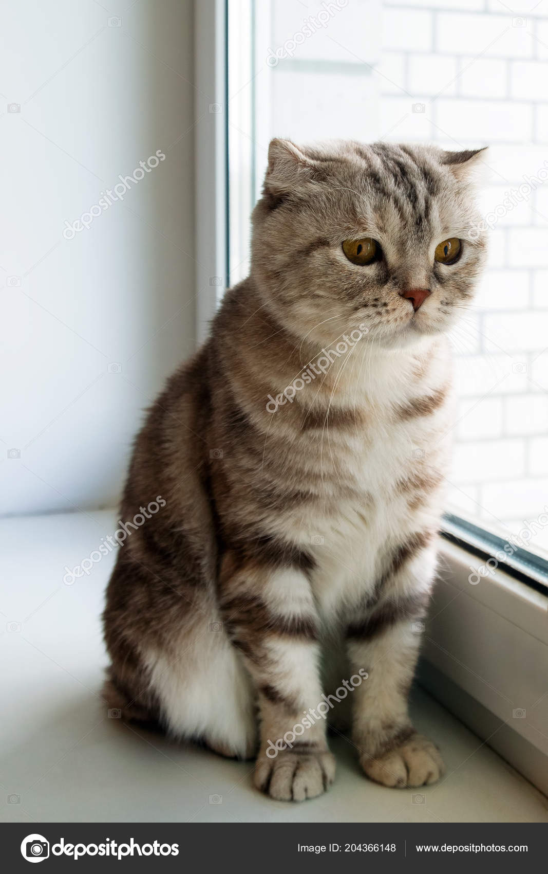 Adorable Fluffy Gray Tabby Scottish Fold Cat Yellow Eyes Looking