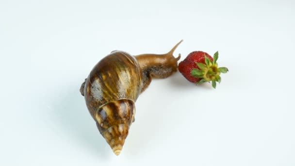 The Large Snail Achatina Eating Red Ripe Strawberries on a White Background.