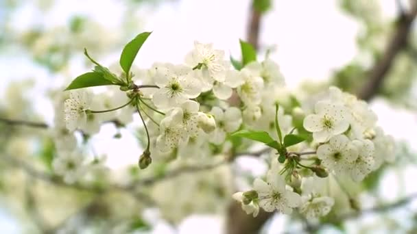 Beautiful white flowery fruit tree under a blue sky in spring. Tree in bloom. Cherry blossoms
