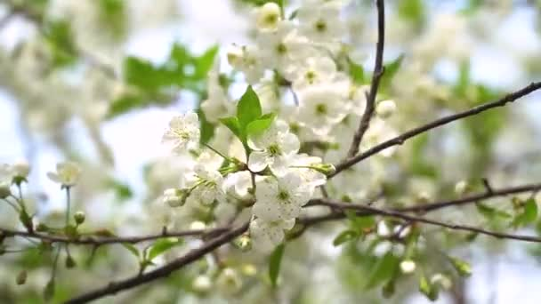 Beautiful white flowery fruit tree under a blue sky in spring. Cherry blossoms