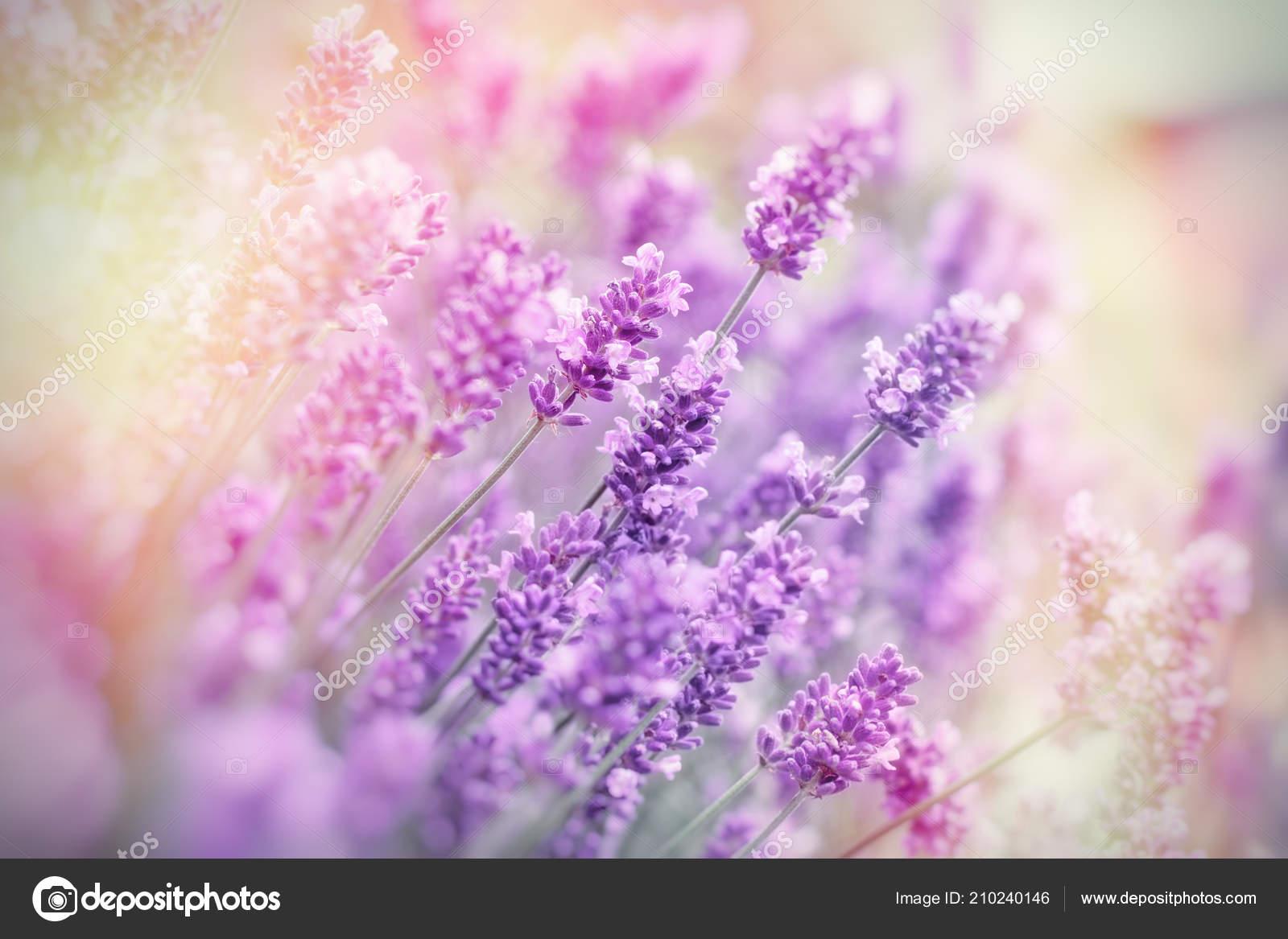 Enfoque Selectivo Suave Flor Lavanda Flores Lavanda Jardin Flores