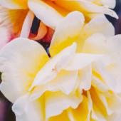 Fotografie Rose background close-up. Vintage romantic background