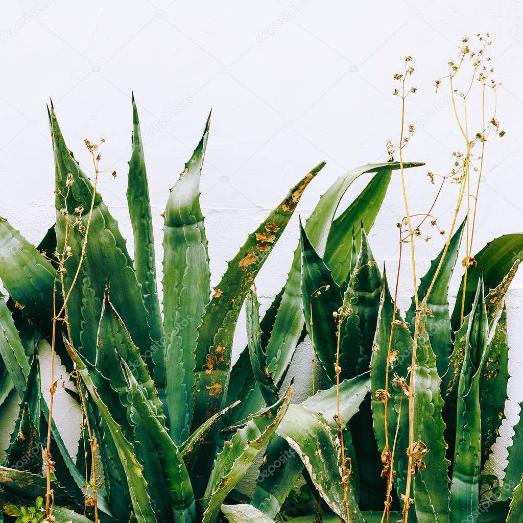 Tropical green in urban location. Aloe. Minimal