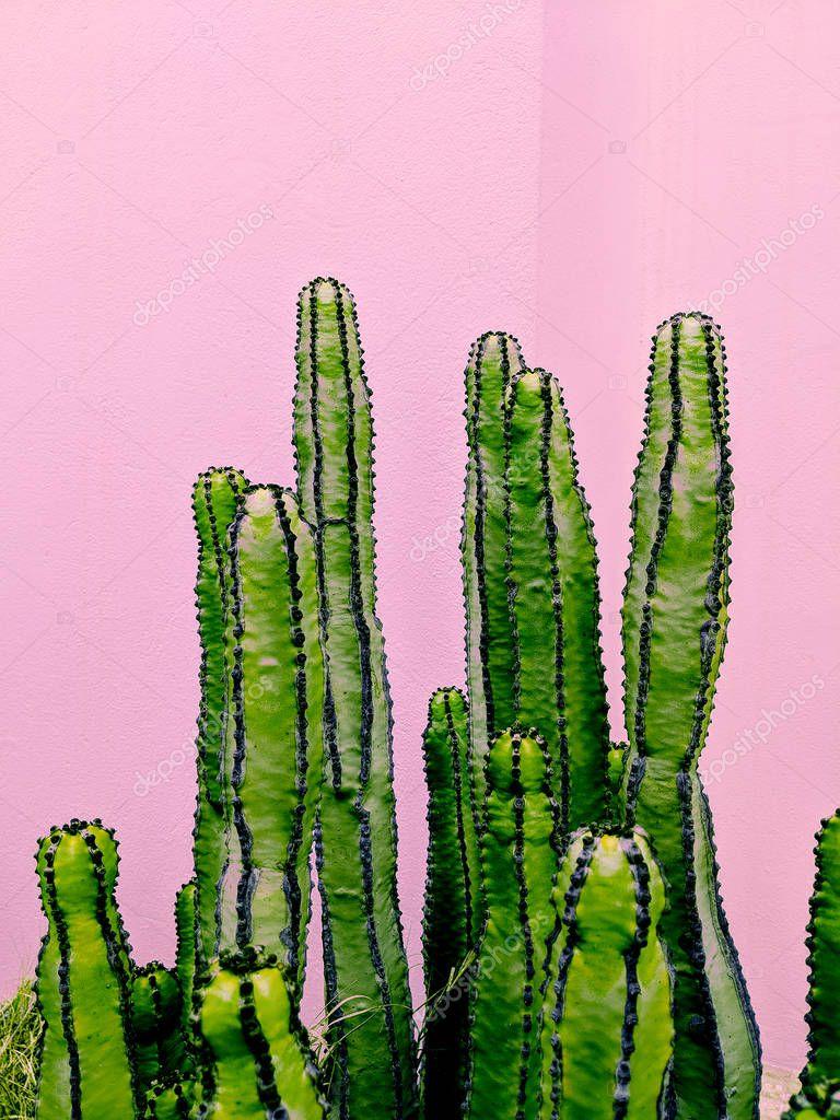 Plants on pink concept.  Cactus.  Mini