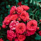 blühende Rosen im Hintergrund. Pflanzenliebhaber Konzeptkunst