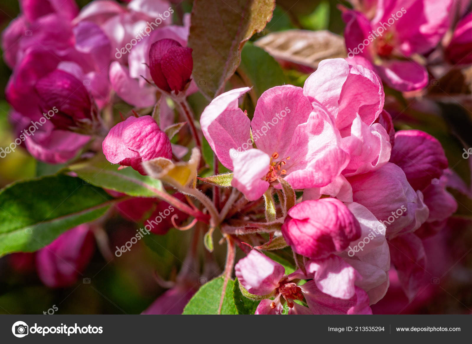 Closeup view crabapple tree bloom clusters bunches pink flowers closeup view crabapple tree bloom clusters bunches pink flowers stylized stock photo mightylinksfo