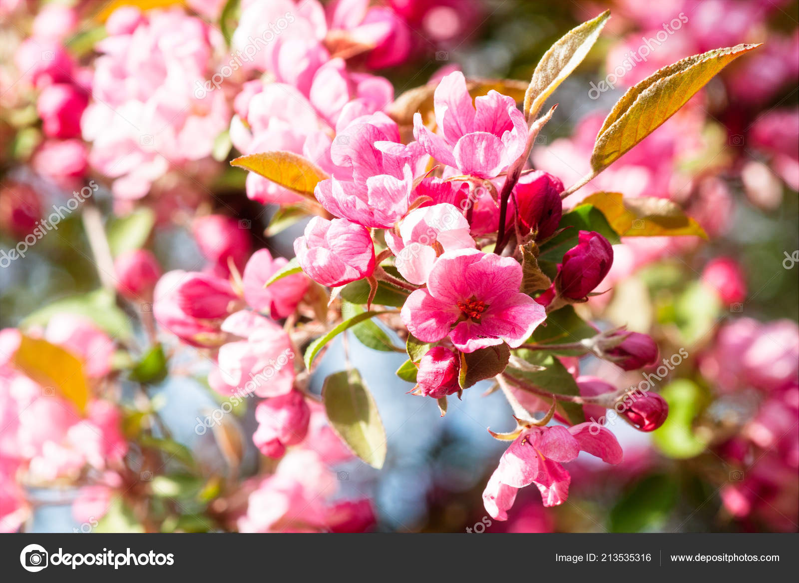 Closeup View Crabapple Tree Bloom Clusters Bunches Pink