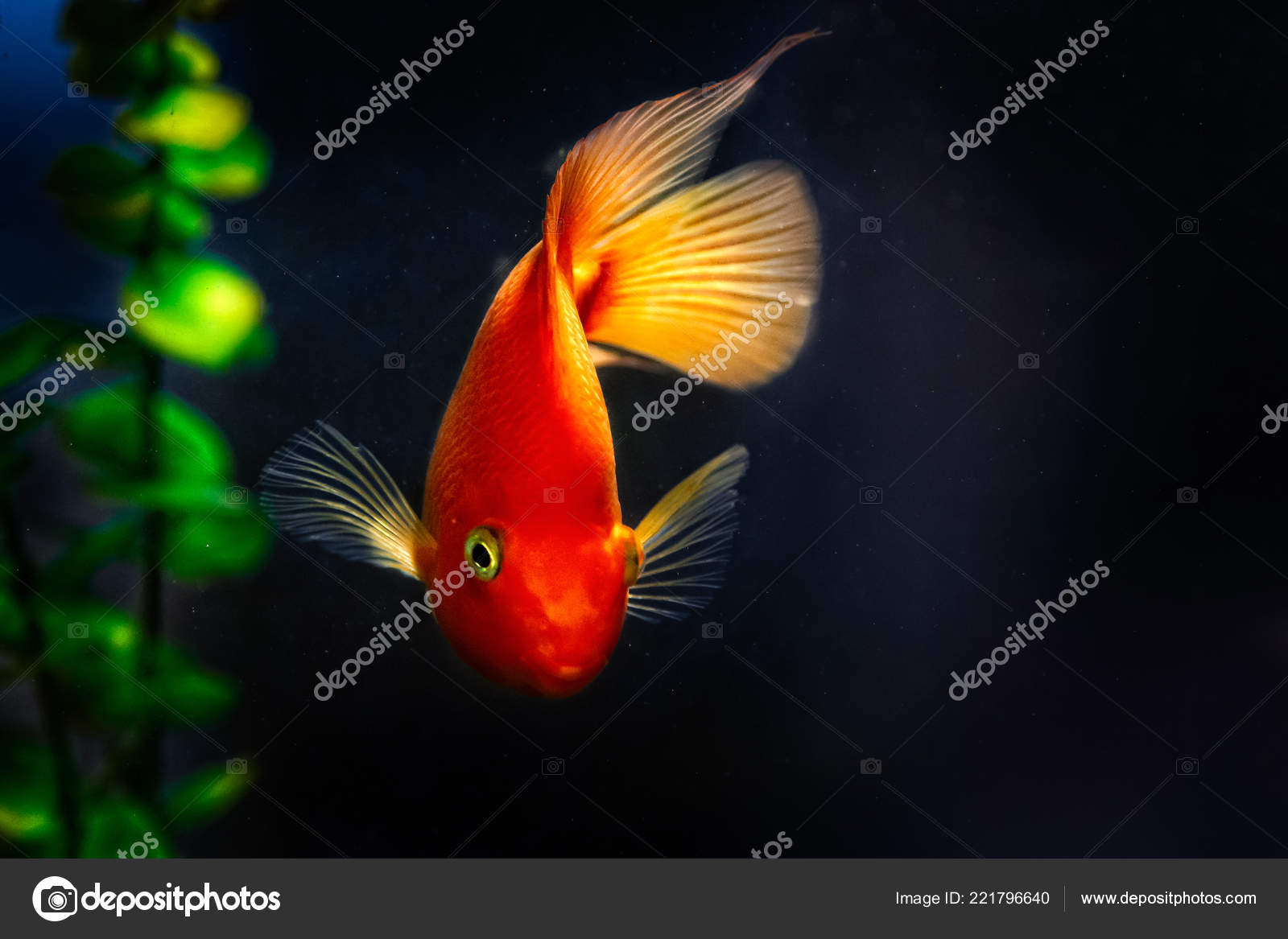Yellow Orange Goldfish Koi Fish Dark Water Green Seaweed