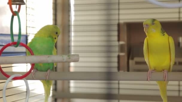 Žluté zelené papoušci