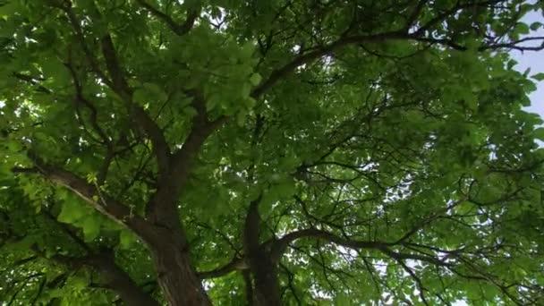 Vlašskový strom zelený listí
