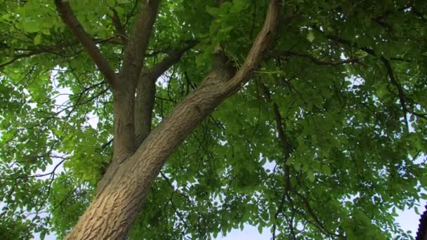 Walnut Tree With Green Leaves