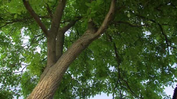 Diófa zöld levelei