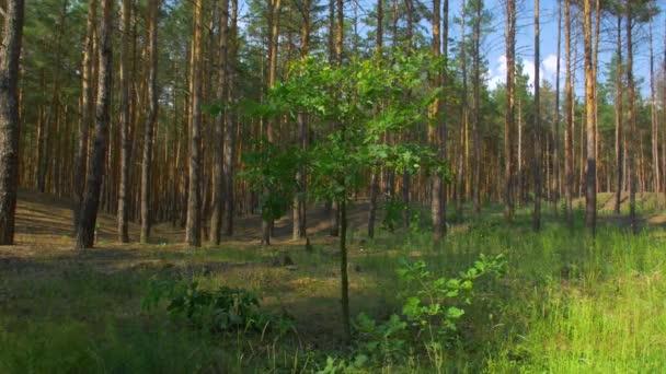 Malý strom v borovicovém lese