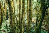 Fotografie Laurel Waldlandschaft. Natur-Hintergrund. Anaga Landschaftspark, Biosphärenreservat, Teneriffa, Kanarische Inseln, Spanien