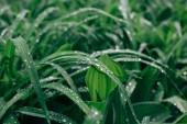 Kapky rosy na zelené čerstvé trávy v ráno. Přírodní pozadí