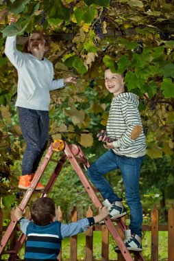 children tear the grapes into the basket. gather grapes from a ladder.