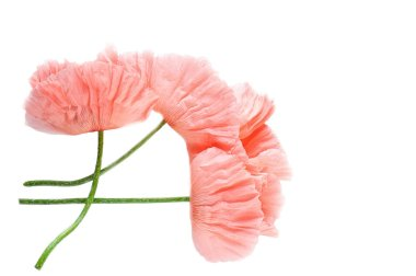 Pink delicate poppy flowers isolated on white background. Macro. A symbol of sleep, oblivion and imagination. National flower of Ukraine.