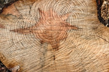 Cut down a tree with a core in the shape of a star of David. Wooden background. Counting the age of the tree.