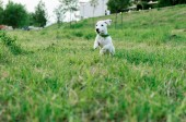 Happy dog jack russell terrier playing and jumping on grass outside.