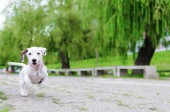Fotografie front view of happy jack russel dog running and playing in park