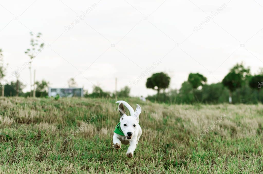 Front view of jack russell terrier running toward the camera