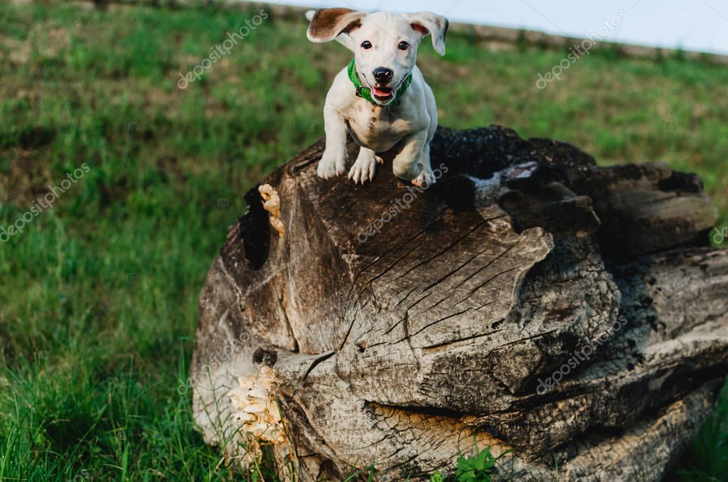 Front view of Jack Daniels terrier dog jumping from piece of wood, outdoors