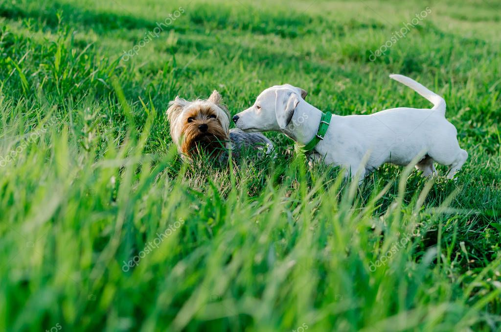 Two dogs playing on grass, jack russell and yorkshire terrier, outdoors