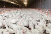 Inside of white chicken factory.