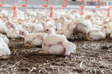 Indoors chicken farm, chicken feeding in factory.