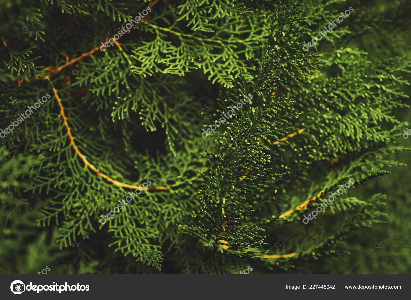 Branche D Arbre Sapin De Noel branches arbres sapin verts noël fond modèle graphique arbre