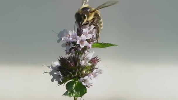 Méhek gyűjtése nektárt egy fehér virágok és a repülő el. Rovarok beporzó virágzó virágok ág. Méhészeti repülés közeli.