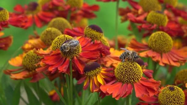 Včely na oranžovou květinu sbírání nektaru.