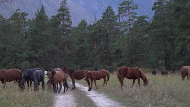 Stádo koní pasoucích se v podzimním dni v lese poblíž Altai Mountains.