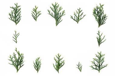 Cypress twigs on white background. stock vector