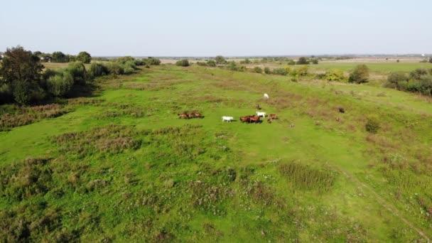 Csorda ló a réten legelnek a nyári napsütésben. Légifelvételek, lassan repülni előre technika, 4k