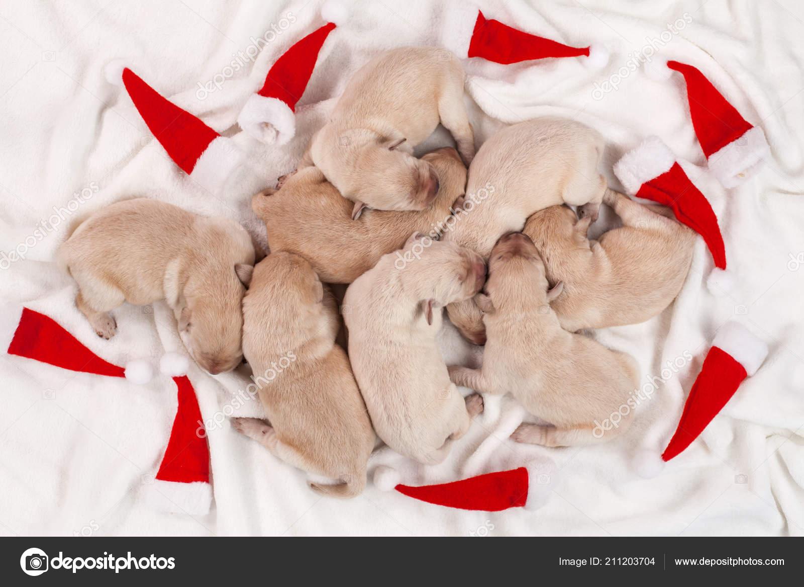 Christmas Party Dropouts Cute Newborn Labrador Puppies Sleeping Small Xmas Stock Photo C Ilona75 211203704