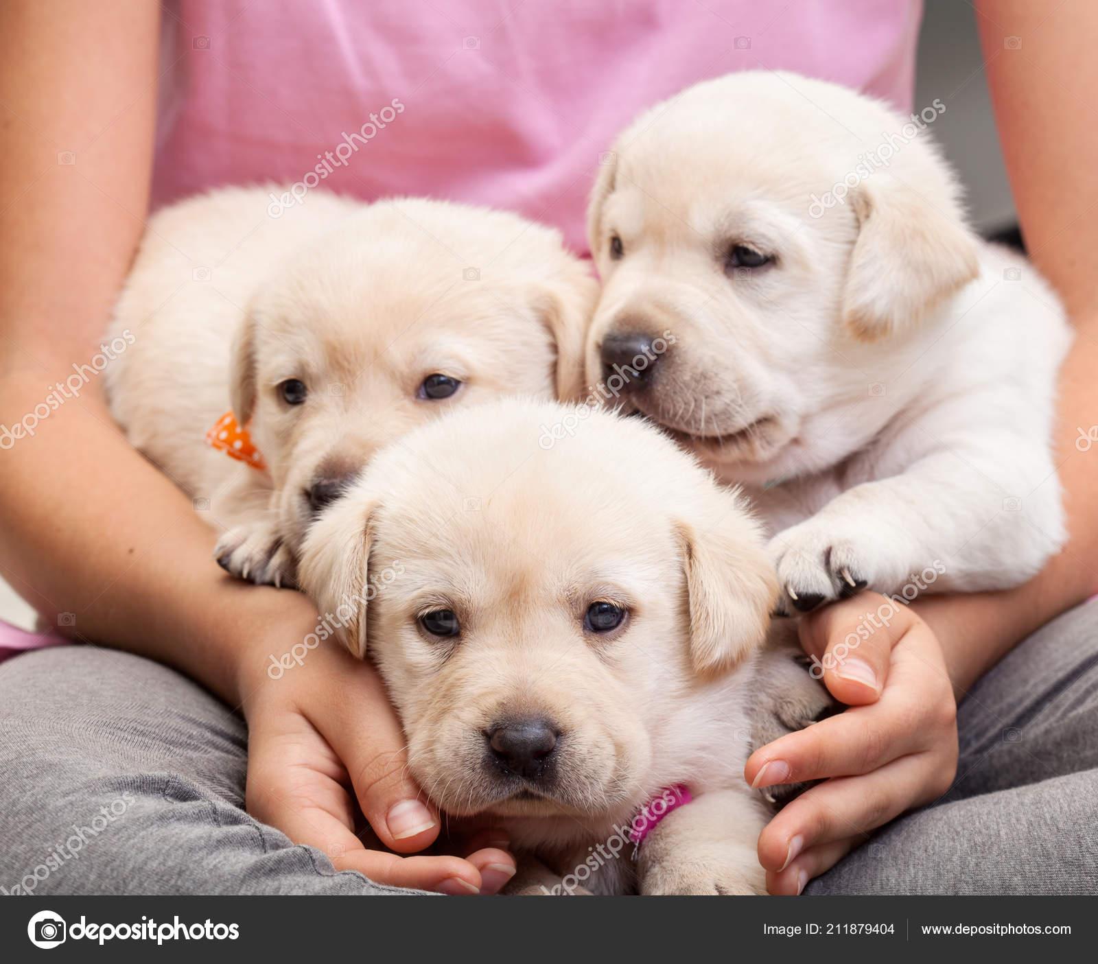 Young Girl Holding Three Adorable Labrador Puppies Her Lap Closeup
