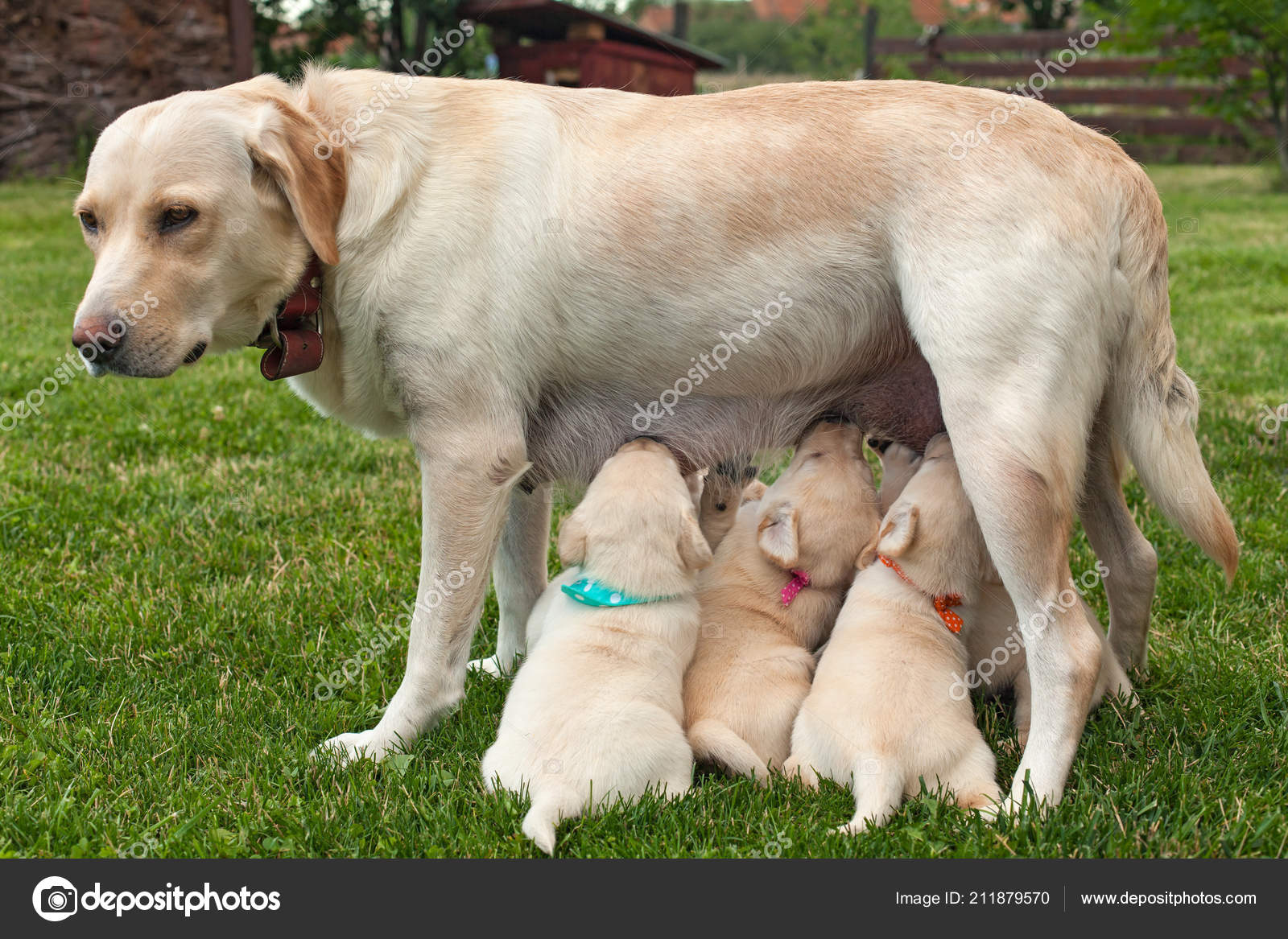 Chubby Yellow Lab Puppies Cute Labrador Puppies Suckling Standing Toes Colorful Scarves Tell Them Stock Photo C Ilona75 211879570