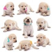 Labrador Welpen mit bunten Schals in verschiedenen Positionen auf weißem Hintergrund - liegend, sitzend, stehend