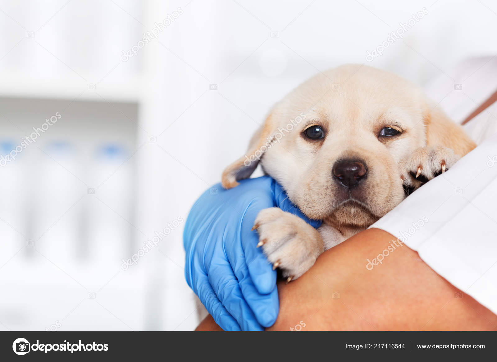 Veterinary Healthcare Professional Holding Cute Labrador Puppy Dog