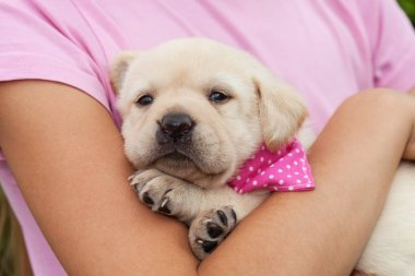 Cute female labrador puppy dog lying in young girl arms
