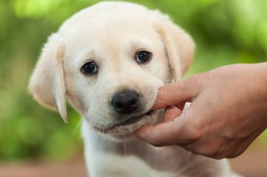 Cute labrador puppy dog chewing on owners finger - close up