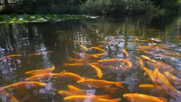 oranžové Koi ryb v rybníku