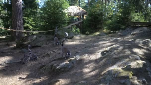 Ring-tailed lemurs at the zoo