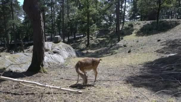 SIKA nebo skvrnitý jelen v zoo