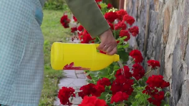 watering geraniums or plants outdoors, gardening