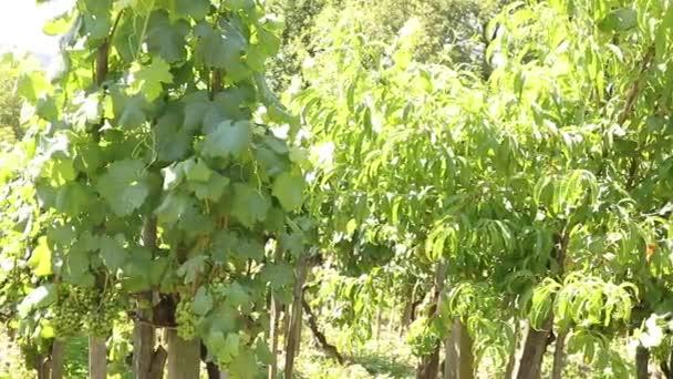 vinice krajina se zeleným zráním vína